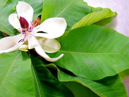 飛騨の朴葉の花