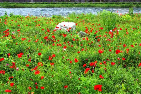 飛騨川のお花は満開 2011